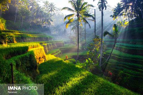 مزارع برنج  بالی در اندونزی