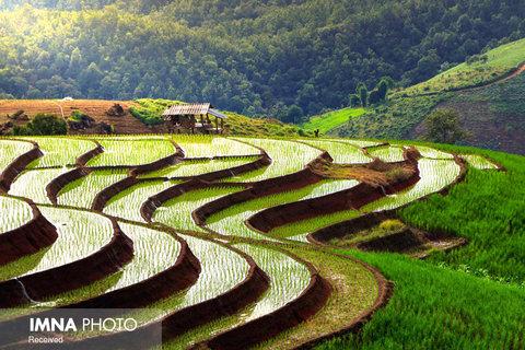 مزارع برنج Chiang Mai در تایلند