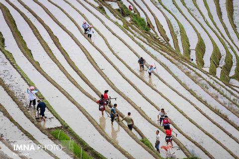 مزارع برنج Guilin در چین