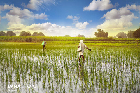 مزارع برنج Haryana در هند