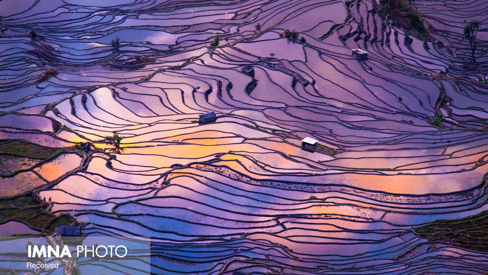 مزارع برنج آسیا