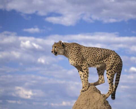 Relocation valuable step in Asiatic Cheetah breeding