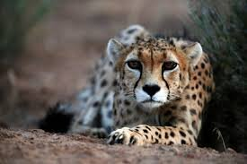 National Day of Asiatic Cheetah