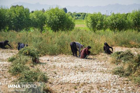 برداشت کشاورزان از مزارع شرق