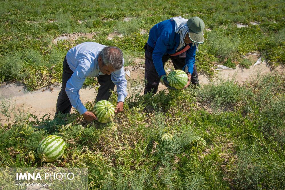 کشت هندوانه در اصفهان کمتر از برنامه ابلاغی وزارت جهادکشاورزی است