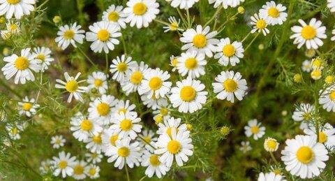 گیاهی برای کاهش نگرانیها