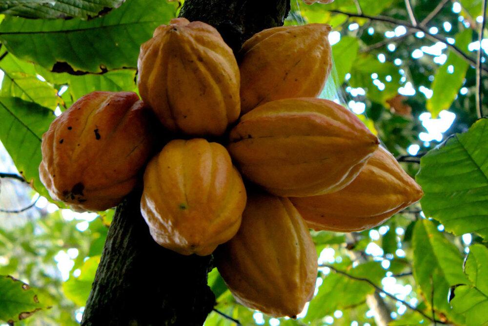 کود بیولوژیک ایرانی مزارع کاکائوی آفریقا را نجات داد