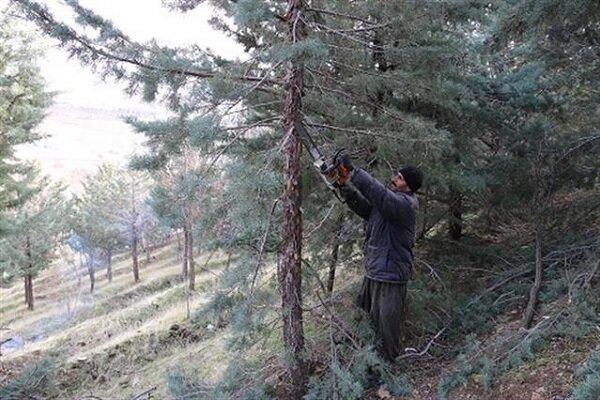 قطع درختان خشک شهر  گلپایگان