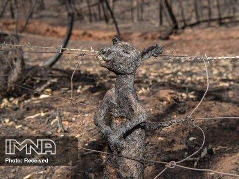 نیم میلیارد جاندار در آتش سوزی های استرالیا کشته شدند