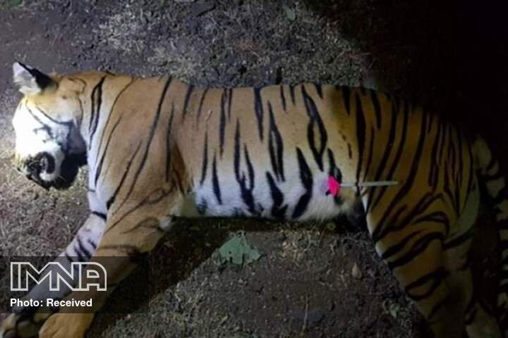 اقدام غیراصولی باغ وحش ارم، علت اصلی مرگ ماده ببر سفید