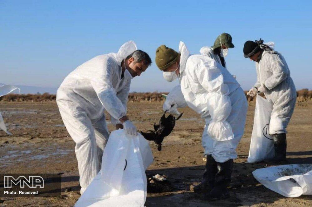 بوتولیسم؛ عامل مرگ و میر پرندگان تالاب میانکاله