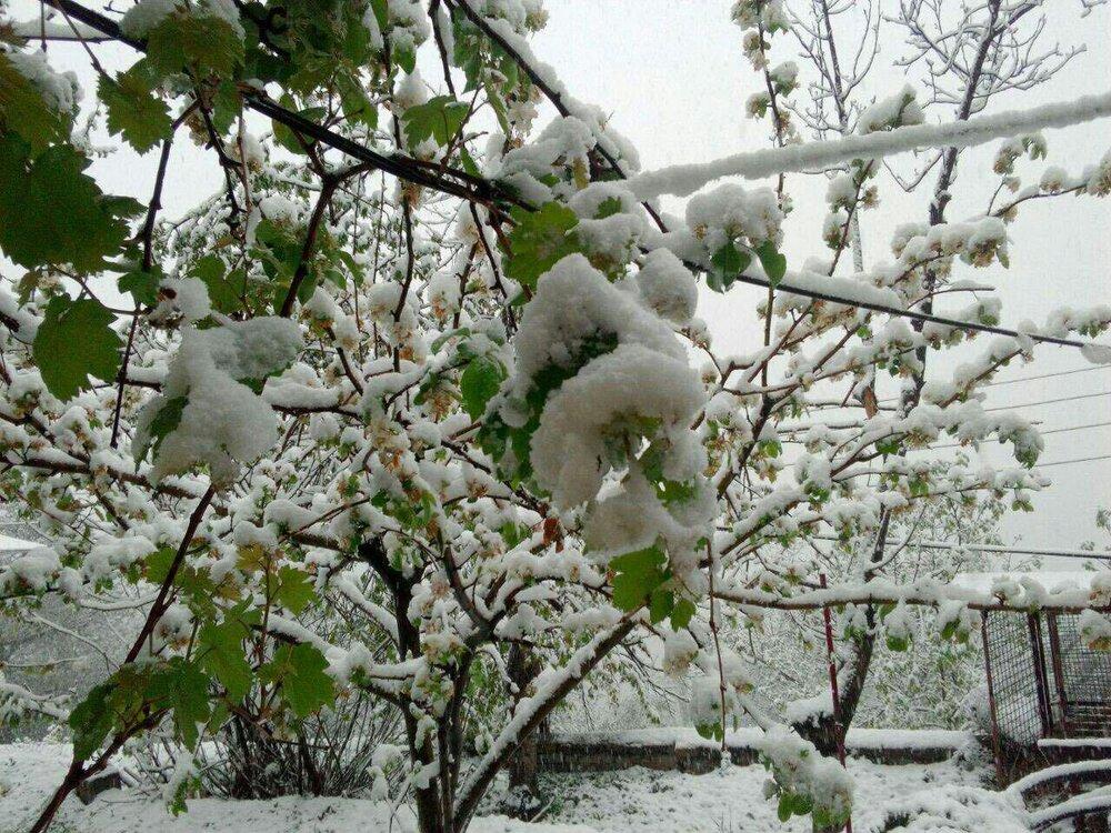انجام عملیات برف تکانی از درختان سطح شهر کرج
