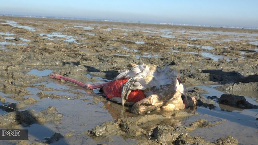 تلفات پرندگان مهاجر در میانکاله به مرز ۱۰ هزار بال رسید