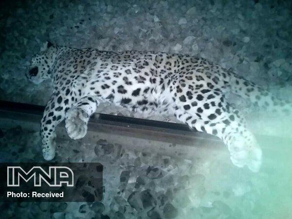 مرگ مبهم یک قلاده پلنگ ماده در مازندران