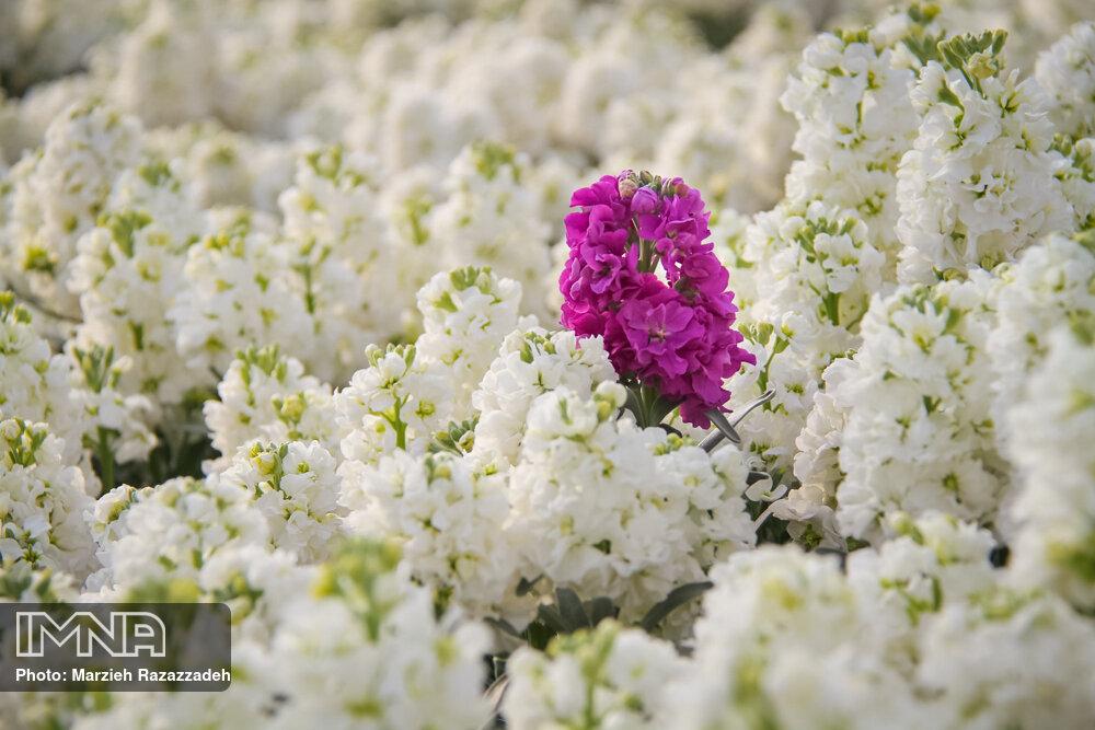 تقاضا برای خرید گیاهان زینتی در نوروز ۹۹، به صفر رسید