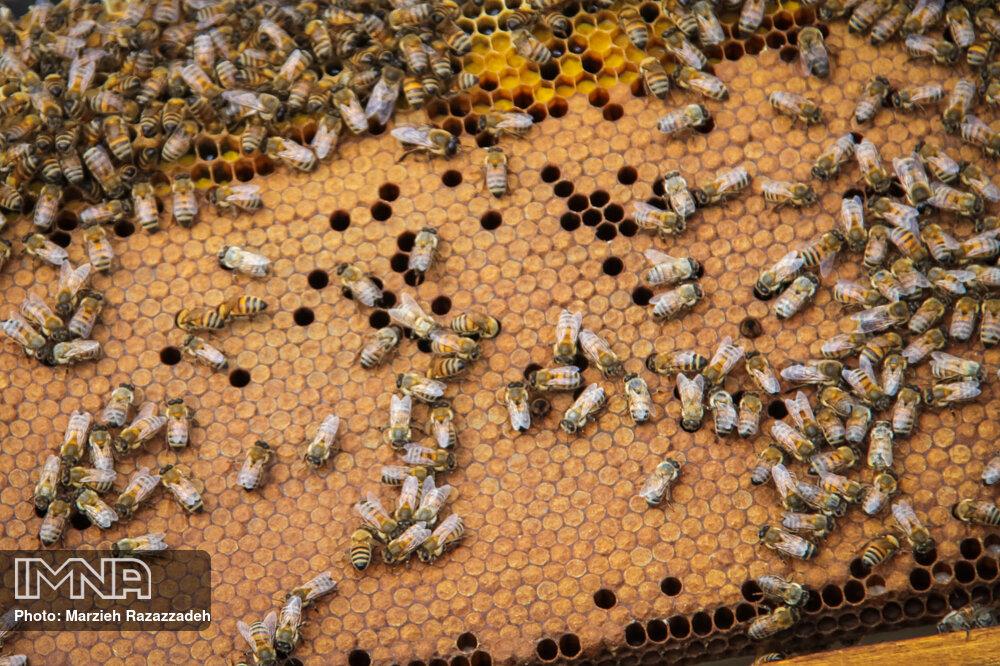 تولید عسل طبیعی در دشت های گلپایگان