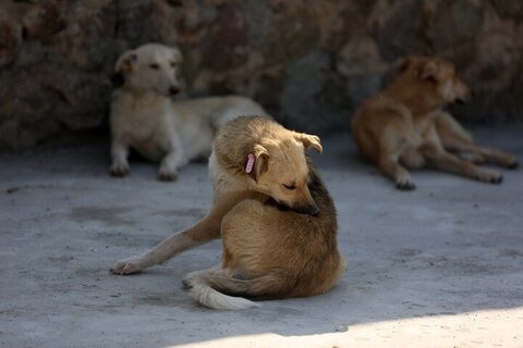 جمعآوری ۱۴۰ قلاده سگ از شهر خوانسار