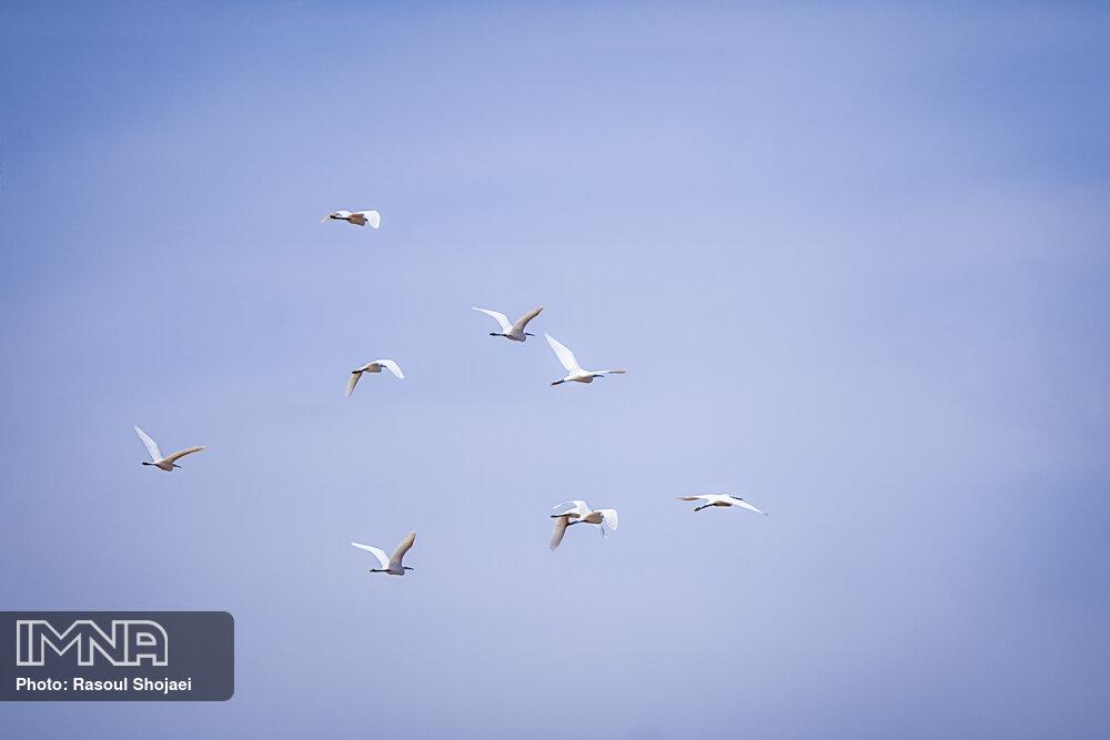 میزبانی تالاب گاوخونی از پرندگان مهاجر