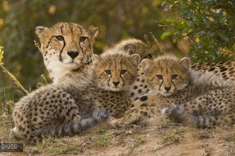 تولد ۴ بچه چیتا در اتریش؛ امید برای بقا یک گونه درخطر انقراض