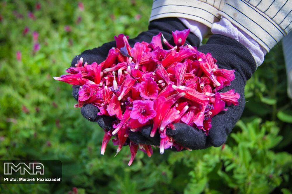 برداشت گیاهان دارویی