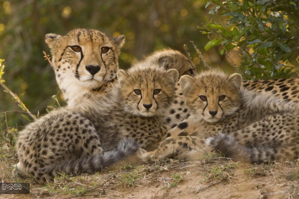 ۹۰ درصد یوزپلنگهای جهان در ۱۰۰ سال اخیر از بین رفتهاند