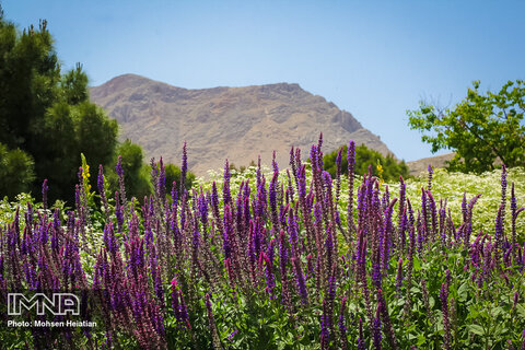 جمع آوری محل توزیع گیاهان کوهی در یاسوج