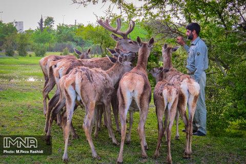 مرال های ایرانی در پناهگاه حیات وحش لوندویل آستارا