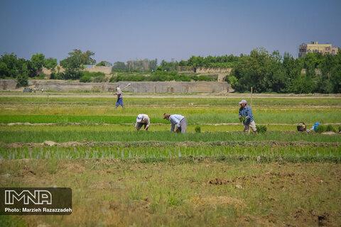 Farmers' diligence in paddy fields