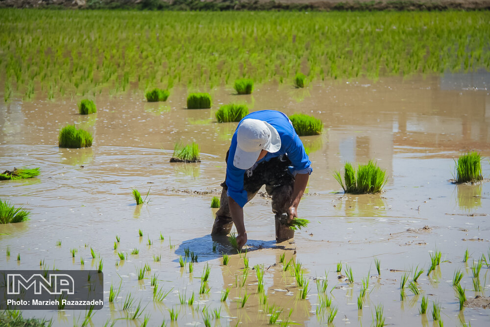 Farmers' diligence in paddy fields
