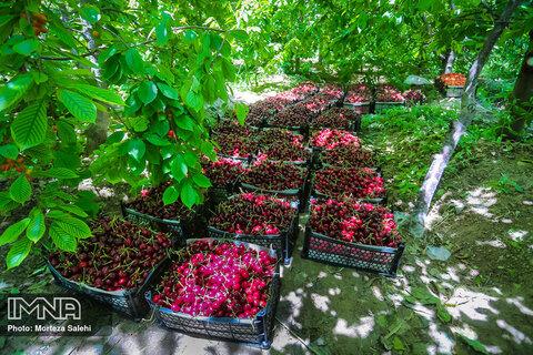 برداشت گیلاس از باغات اصفهان ۱۰ درصد افزایش یافت