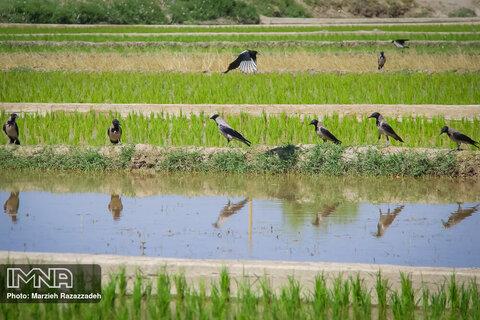 فصل نشاء برنج