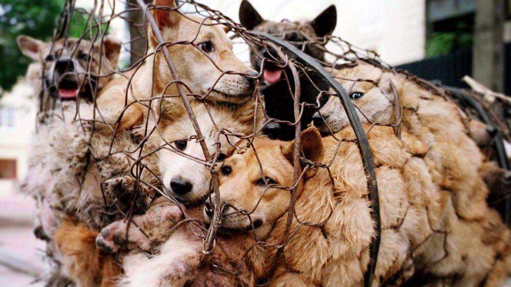 فستیوال گوشت سگ در چین برگزار میشود