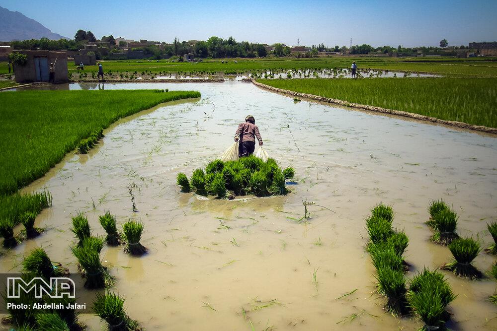 نشاکاری برنج در مبارکه