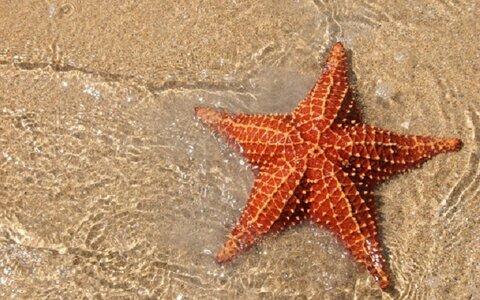 درمان سرطان با ستاره دریایی!
