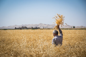 Harvesting wheat crop on beautiful sunny day