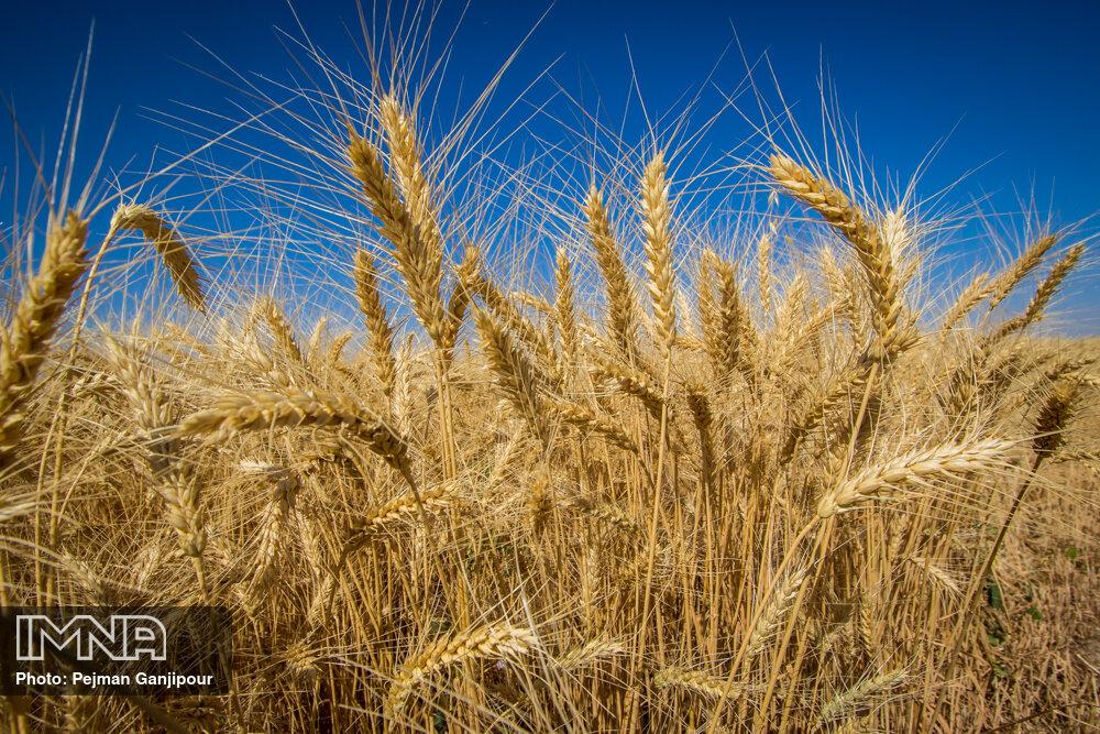 رشد ۷ درصدی خرید گندم مازاد بر نیاز کشاورزان