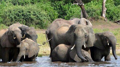 مرگ مرموز ۲۷۵ فیل در بوتسوانا