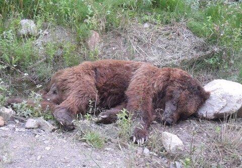 حمله خرس وحشی به ۲ نفر از عشایر کوهرنگ