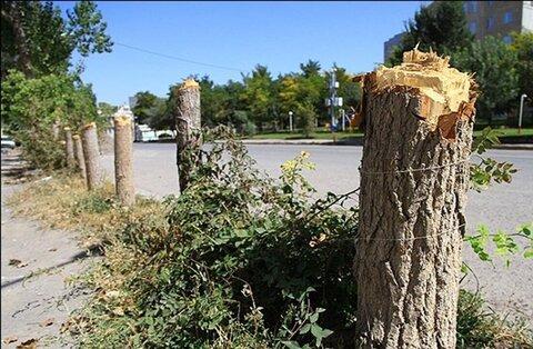قطع درختان مالخلیفه برای تعریض معبر لازم بود