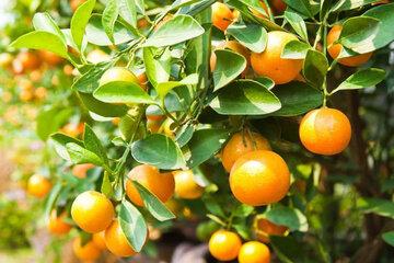 برخورد با متخلفان آسیب به درختان نارنج بابل