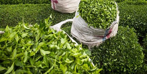 خرید بیش از ۱۲۶ هزار تن برگ چای در کشور