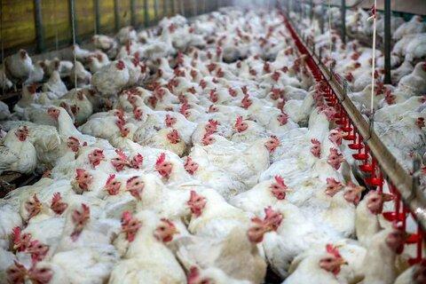 برخی مرغداران برای فروش نهاده و سود بیشتر جوجهها را از بین میبرند