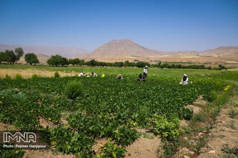 صادرات ۹۰ درصدی کاهو به کشورهای حوزه خلیج فارس