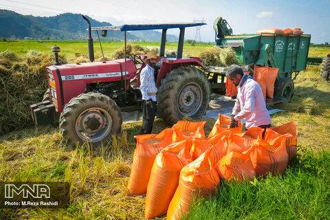 برداشت برنج در گیلان