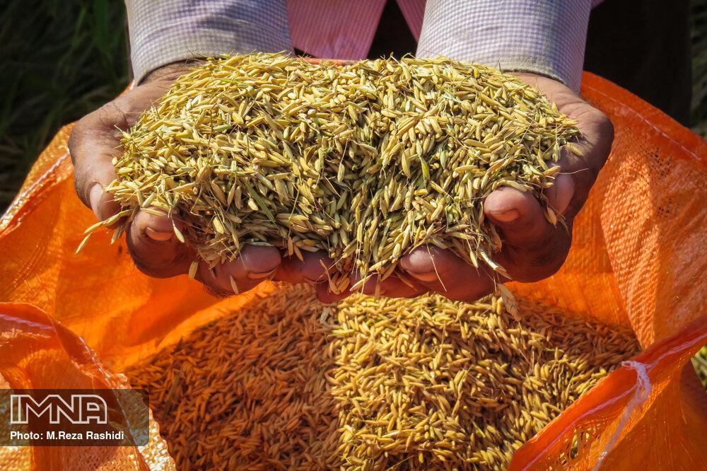 برنج خارجی متقاضی ندارد