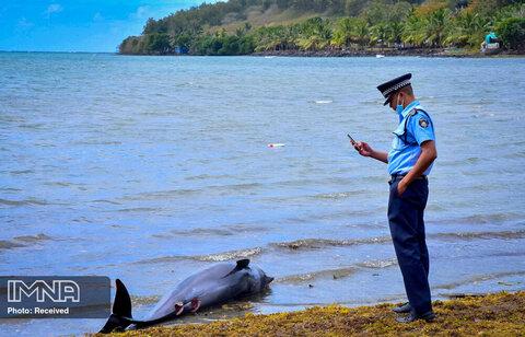 یک پلیس از لاشه یک دلفین که جان خود را از دست داده  در ساحل Grand Sable ، موریس عکس می گیرد