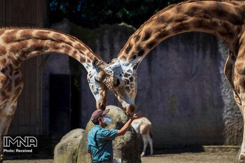 یک باغبان باغ وحش در هنگام تغذیه دادن به زرافه ها در باغ وحش La Aurora ، در شهر گواتمالا