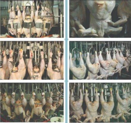 اختلاف قیمت ۱۰ درصدی مرغهای گرید +A با B