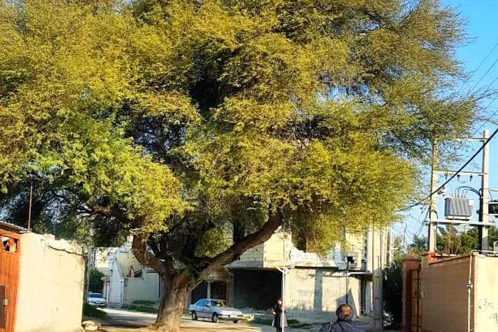 درخت ۵۰۰ ساله بوشهر ثبت ملی شد