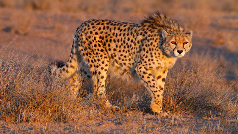 Presence of Asiatic cheetah possible in Isfahan